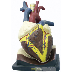 Medical Model Human Heart Teachers Removable Chambers Valves
